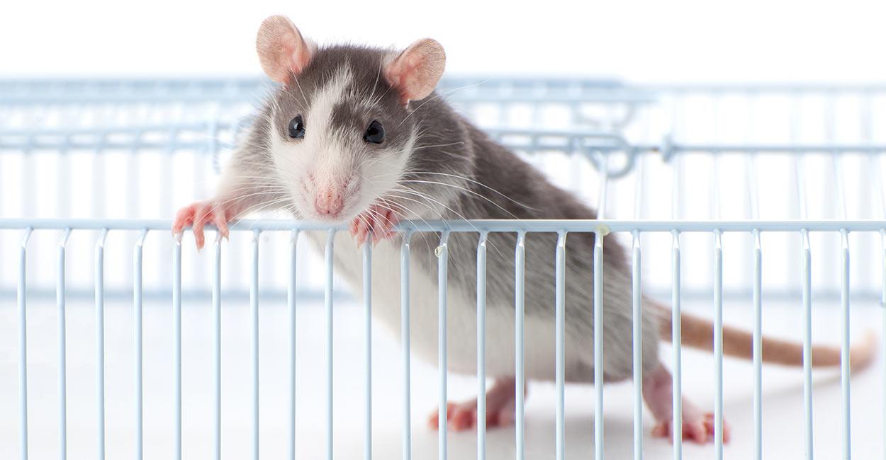 Best Rat Cages of 2021