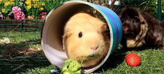 Best Guinea Pig Toys of 2021