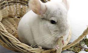 Best Chinchilla Toys