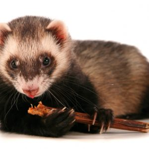 Best Ferrets Treats