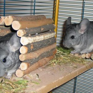 Best Chinchillas Food